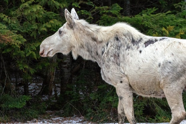 Canada shocked by killing of rare white moose