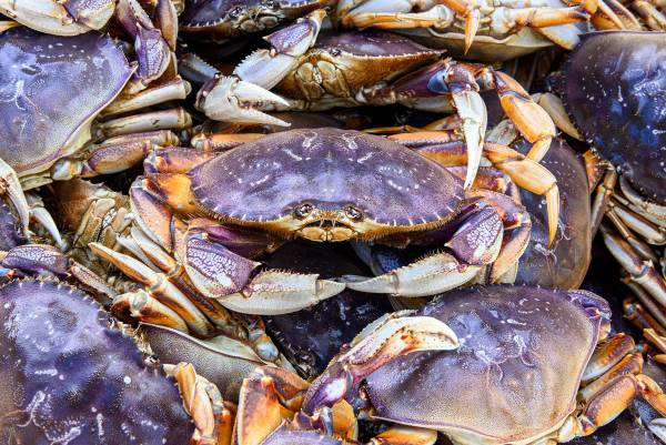 Oregon Commercial Crab Fishery Opens December 16 South Of Cape Falcon